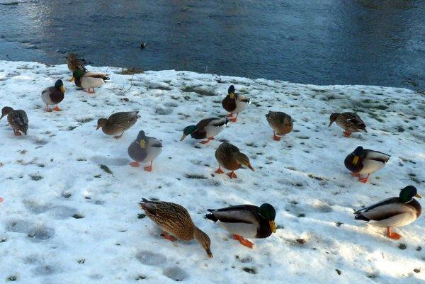 Hlavným roznášačom vtáčej chrípky sú divo žijúce vtáky.
