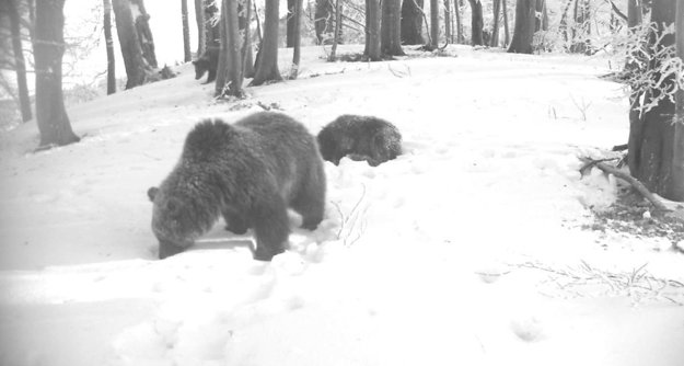 Na fotopasci sa podarilo zachytiť ako si medvede vyhrabávajú potravu spod snehu.