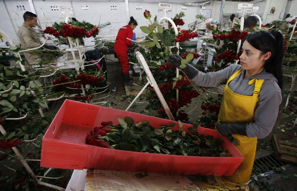 Zamestnankyňa drží červené ruže určené na export do USA na kvetinovej farme Ayura v Tocancipe.