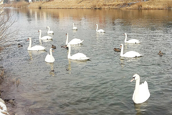Na Orave sa každoročne sústreďuje množstvo labutí.