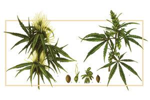 Normálne konope sú dvojdomé, t.j. jedny rastliny majú samé samčie kvety, iné rastliny len samičie, to sú konope materné.(J.L.Holuby)