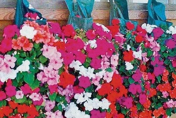 V taške môžete pestovať okrem kvetov aj hrášok alebo jahody.