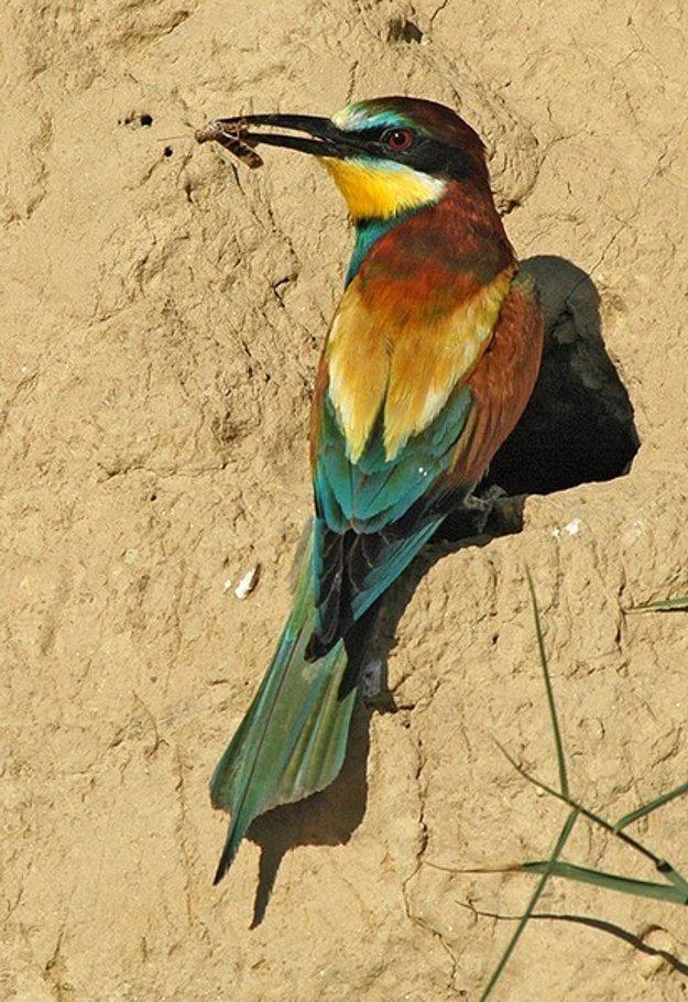 Včelárik zlatý je jedným z najfarebnejších vtákov žijúcich na Slovensku.
