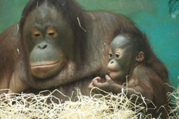 Vzácny orangutan dostal meno Kiran.