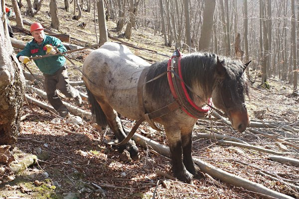 Sú miesta pri ťažbe, kde sa dostane len s koňom. Aj Sivý je dobrý pomocník