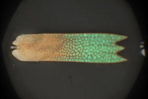 Obrázok jednej šupinky z krídla motýľa, ktorý ukazuje prechod z červenej farby na zelenú.