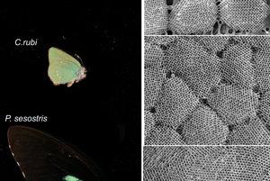 Zábery motýľov Thecla opisena, Callophrys rubi a Parides sesostris a elektrónové mikrografy nanoštruktúr, ktoré dodávajú každému druhu jedinečné zafarbenie krídla.