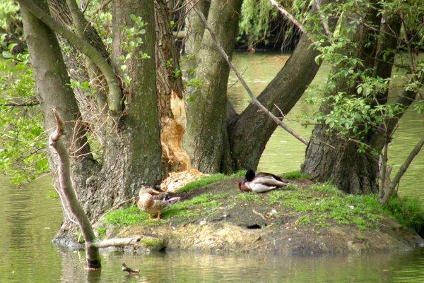 Ohryzený strom na ostrovčeku, ktorý sa nachádza v strede jazera Veľká Hangócka.