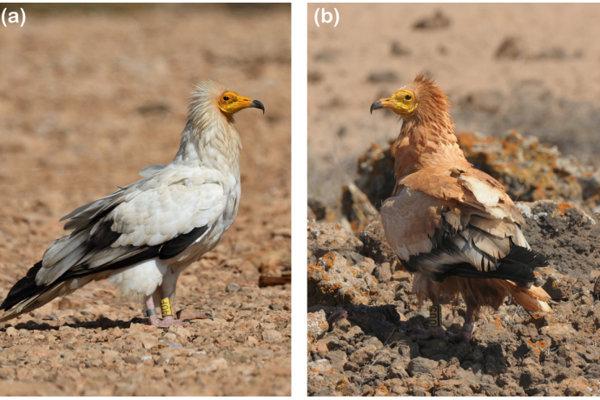 Naľavo je päťročná samička, ktorý si perie nefarbí. Napravo je samček rovnakého druhu, ktorý si zafarbil na červeno takmer celé telo.