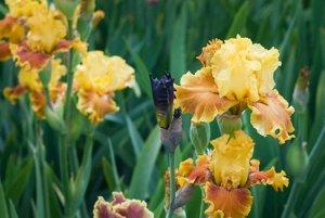 Pred začatím kvitnutia sú napätie a nedočkavosť najväčšie. Býva prekvapením aj sklamaním, ako sa opelené kvety skrížili.
