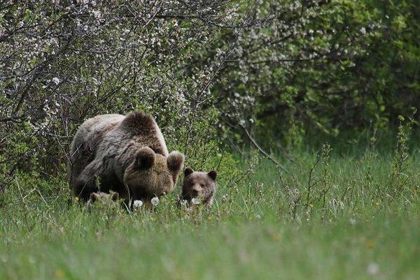 Pravdepodobnosť, že sa medvedica po odobratí mláďat vráti od obce, bola vysoká.