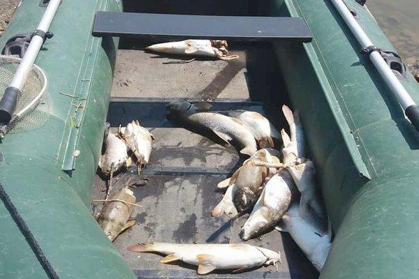 Uhynuté ryby vyberali z Hrona miestni rybári.
