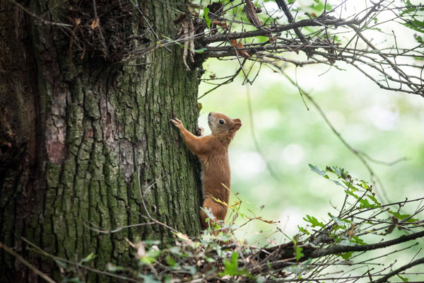 Veverica stromová v bratislavskom mestskom parku Horský park.