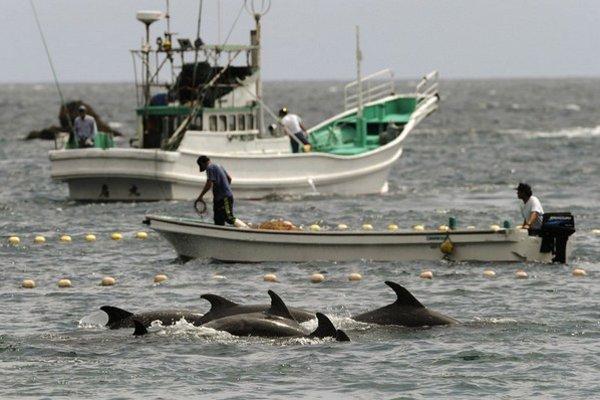 Japonskí rybári naženú delfíny do zátoky a potom ich zabijú.
