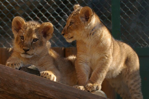 Levíčatá si prvýkrát užili aj vonkajší výbeh.