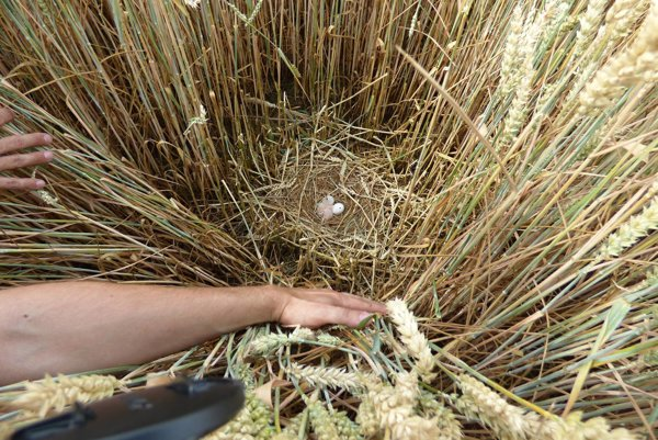 Hniezdo kane v obilí.
