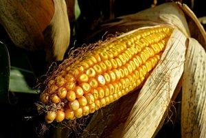 Kukurica obsahuje 642 mikrogramov lutínu na sto gramov.