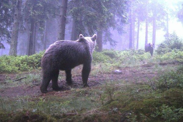 Takto zachytila fotopasca medvede vo Veľkej Fatre počas obdobia ruje.