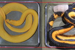 Porovnanie veľkostí žltého morského hada H. platurus xanthos a žltohnedého H. platurus.