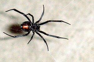 Pavúk druhu Latrodectus hasselti.