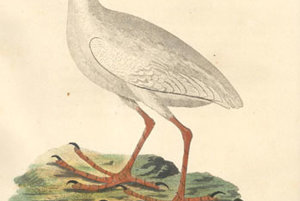 Biely vták Porphyrio albus bol endemickým druhom na asutrálskom ostrove Lorda Howea. vyhynul v roku 1789.