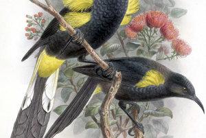 Endemický havajský vták moho nobilis. Domorodci ich chytali pre perie ale neskôr ich pustili. Európania si zvolili inú taktiku a vtáky vyhynuli v roku 1934.
