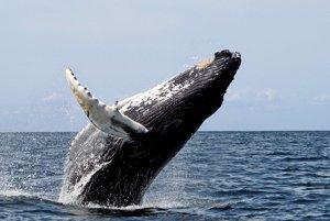 Vráskavec dlhoplutvý.