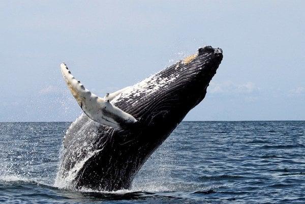 Tokio každoročný hon na veľryby opakovane ospravedlňuje tvrdením, že ich loví pre vedecký výskum, čo ustanovenia IWC v obmedzenej miere povoľujú.