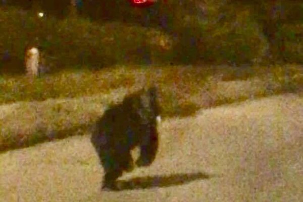 Medveď vcentre Humenného.