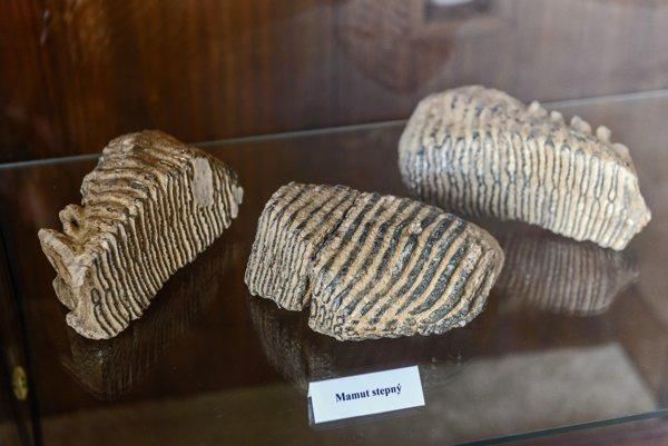 Unikátne exponáty, zuby slona lesného a mamuta stepného, ktorý sa v minulosti nachádzal na našom území.