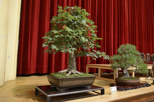 Na snímke bonsaj – javor poľný (vľavo).