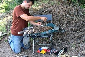 Ornitológ umiestňuje vysielačku na orlicu Zoru.