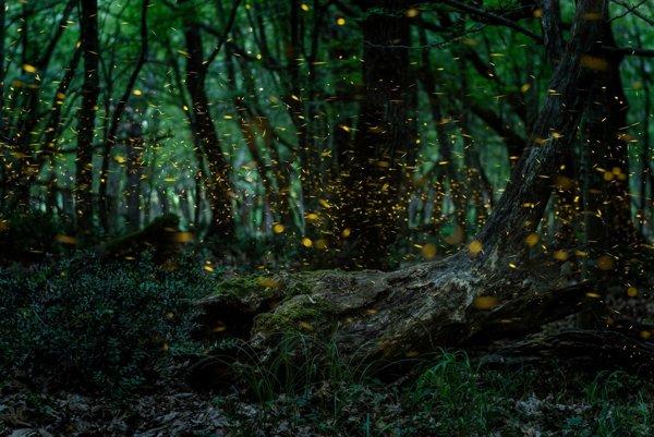 Svetlušky v lese - ilustračné foto.