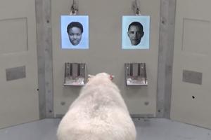 Ovečka sa naučila rozoznať Obamu.