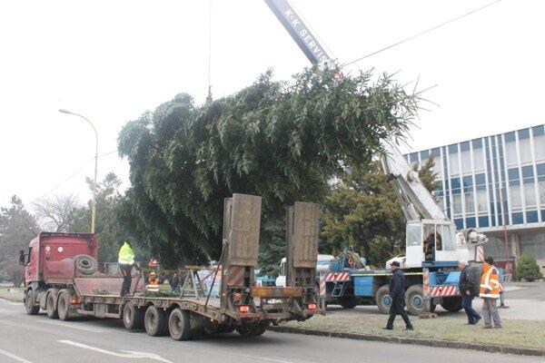 Stromček na trebišovské námestie priviezli už minulý týždeň.