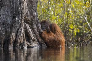 Fotografia roka a zároveň 1. miesto v kategórii Divoké zvieratá a príroda: Orangutan prechádzajúci cez rieku v indonézskom národnom parku Tanjung Puting.