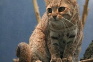 Mačka červenoškvrnná. Dĺžka: 35 až 48 centimetrov.