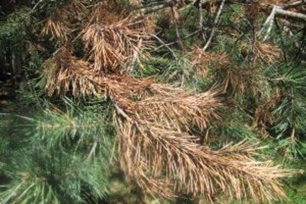 V minulosti sa borovice považovali za odolné stromy, dnes to už neplatí