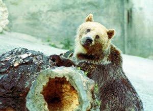 Medveď hnedý je najväčšou šelmou v Európe.