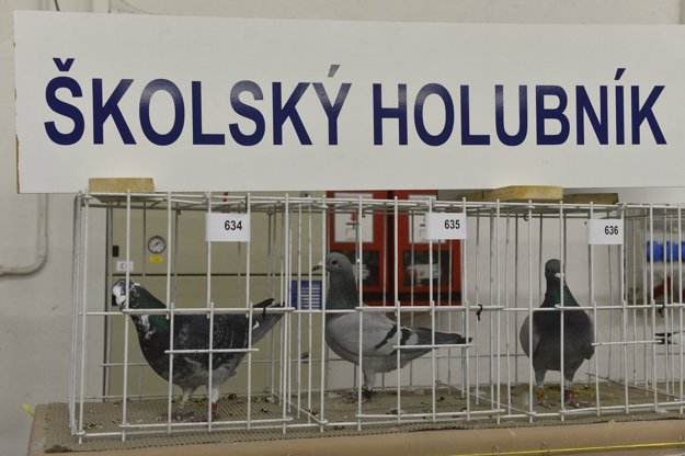 Na snímke vystavené poštové holuby na Celoštátnej výstave poštových holubov 9. januára 2016 v Trenčíne.