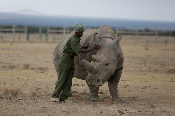 Jedna z posledných samíc nosorožca tuponosého severného Fatu.