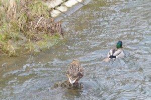 V neďalekom koryte vídať kačky.
