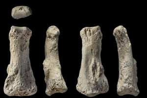 Skamenelina článku prsta, ktorý našli v saudskoarabskej púšti.