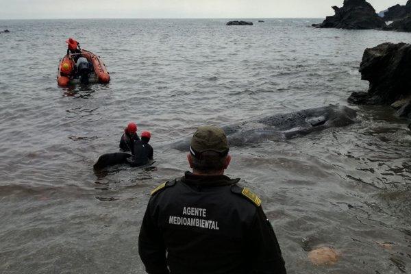 Vyplavený mŕtvy vorvaň tuponosý zomrel kvôli 29 kilogramom plastov v žalúdku.