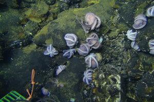 Chobotnice nájdené na vychladnutej a stuhnutej láve. Z trhlín vychádza teplá voda, ktorá nie je vhodná pre ich prežitie.