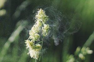Sezónnych alergikov trápi najmä peľ drevín a tráv.