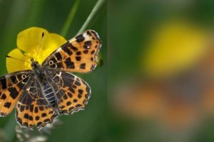 Vľavo je motýľ babôčka, tak ako ju vidí sojka hľadajúca potravu. Vpravo je babôčka tak, ako ju vidí iná babôčka - napríklad taká, čo sa chce páriť.