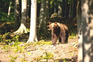Vďaka kamerám môžu ľudia pozorovať život medveďov v prírode.