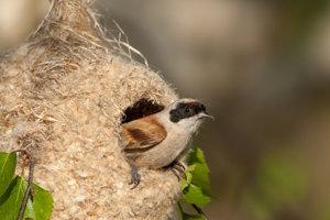 Kúdeľníčkino hniezdo je na pomery vtáčej ríše architektonický skvost.
