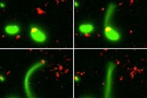Zábery ukazujú proces, v ktorom baktéria zachytáva DNA z prostredia (červené) pomocou výbežku (zelený).